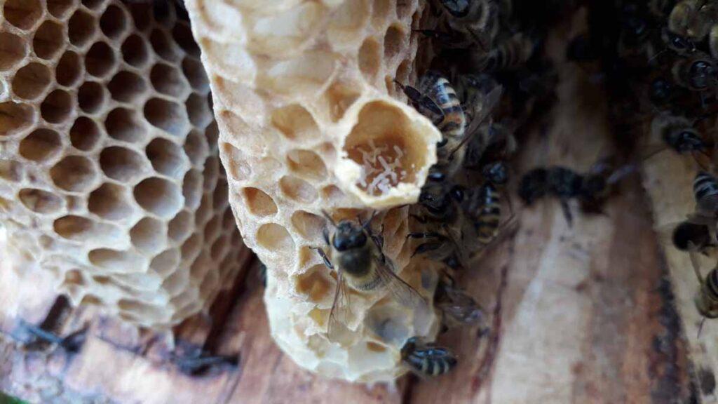 Mesilasema munad